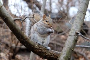 écureuil central park