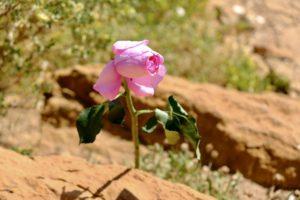 la rose sauvage !