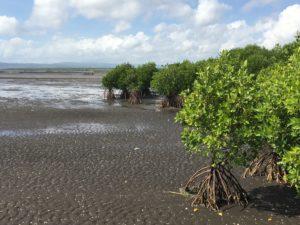 mangroves Banyuwangi