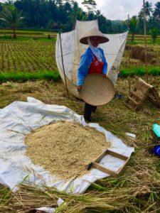 rizières de Pangandaran