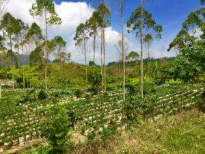 les productions de fraises à Situ Panganten