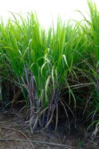 champ de bambou