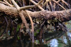 racines mangroves