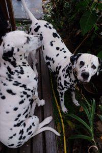 les dalmatiens de la liane de Jade
