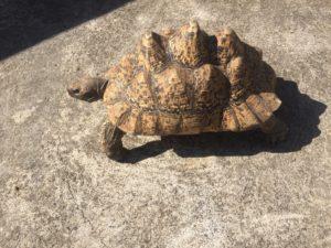 tortue à la liane de Jade